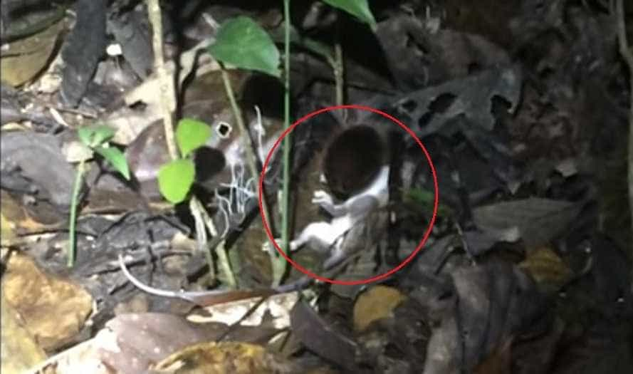 Pela primeira vez, tarântula gigante é filmada a comer gambá