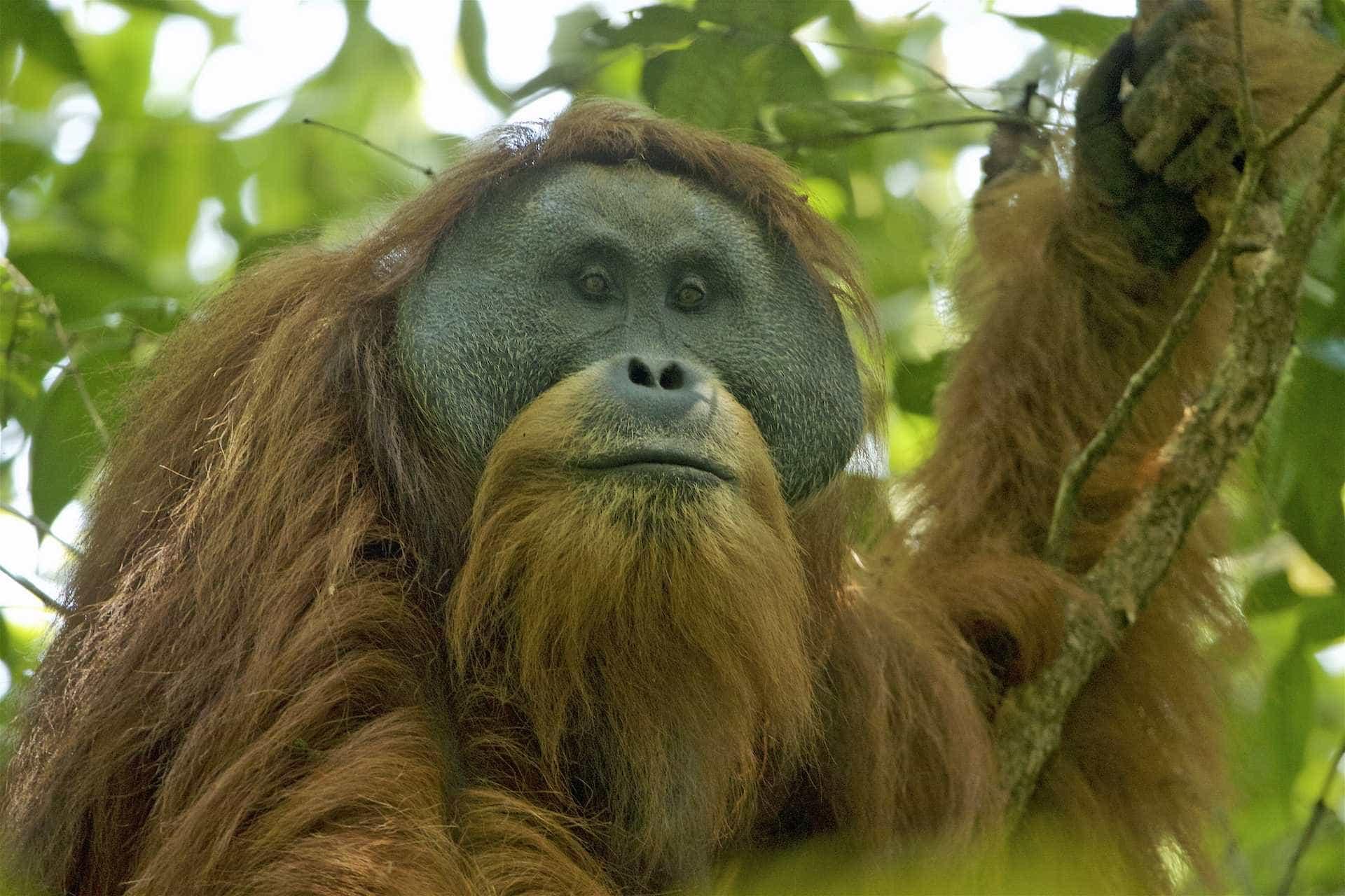 Orangotango mais raro do mundo em risco. A culpa é de uma barragem