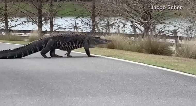 E se visse um jacaré a atravessar a rua? Aconteceu na Flórida