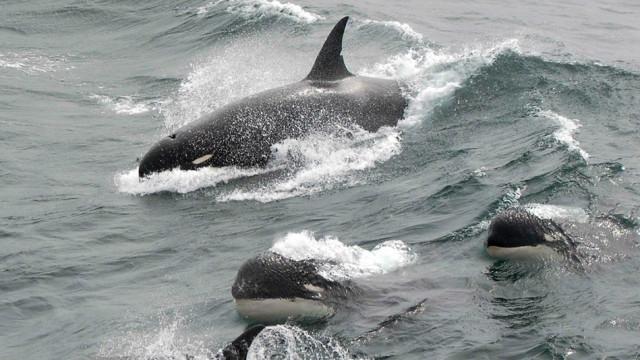 Espécie de orca até agora desconhecida pode ter sido descoberta no Chile