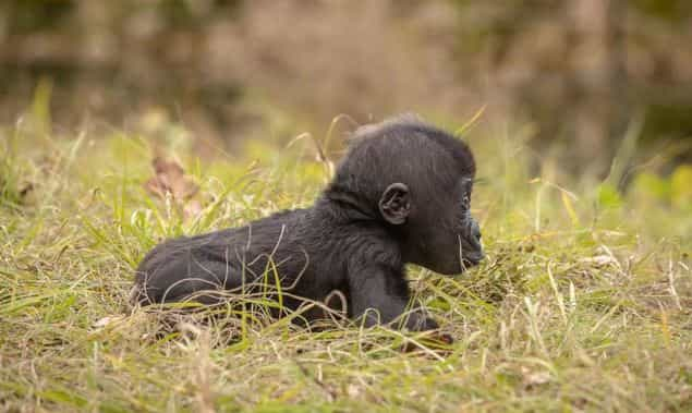 Gorila adota cria rejeitada pela mãe em zoo dos EUA