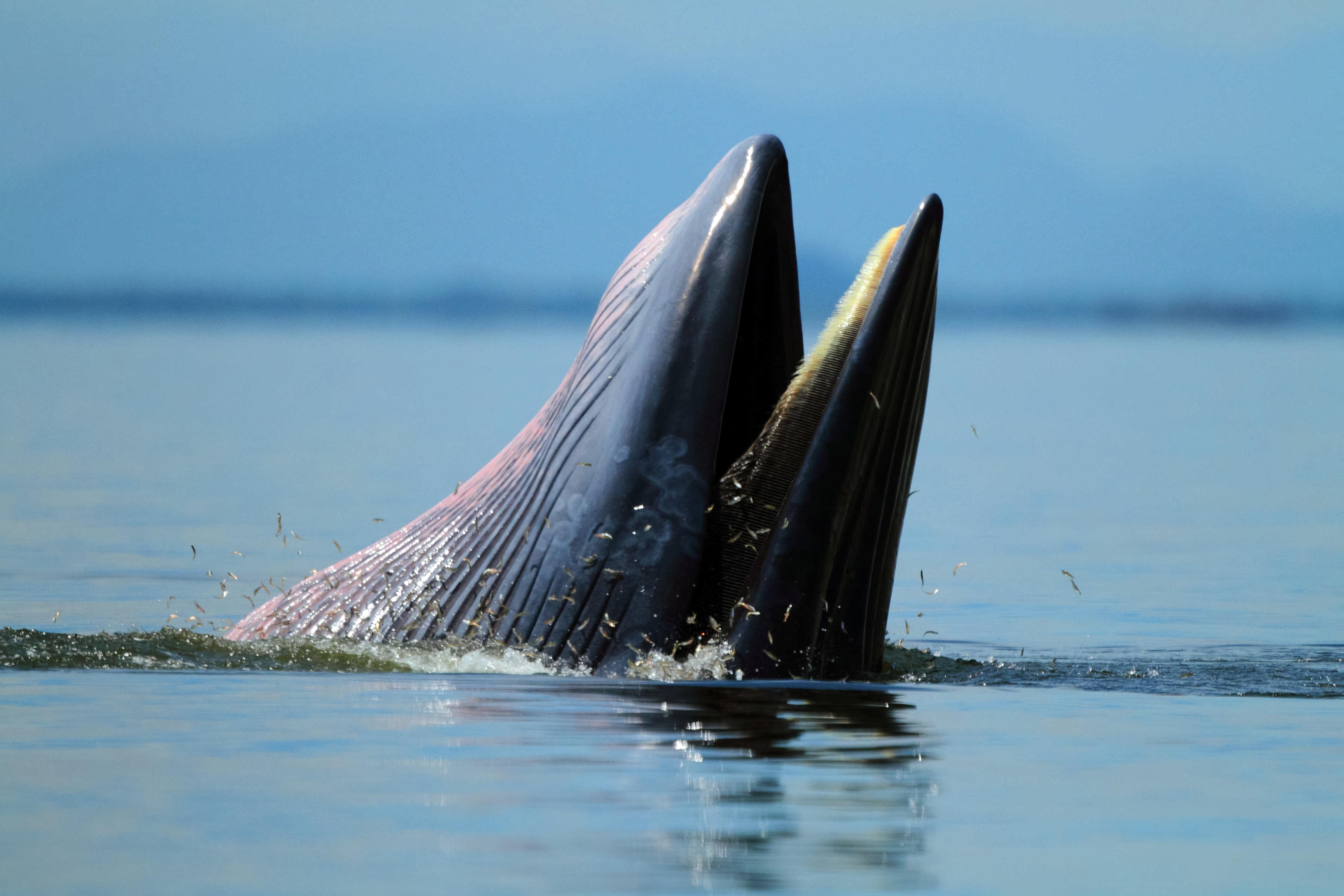 Homem foi abocanhado por baleia, mas foi cuspido depois