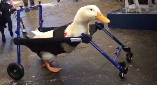 Pato com deficiência consegue andar graças a cadeira de rodas diferente