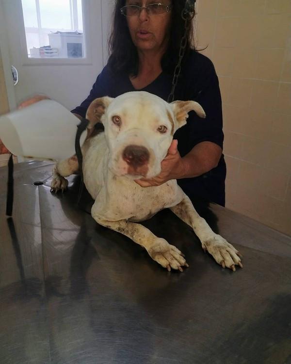Pitbull subnutrida resgatada de donos violentos em São Paulo