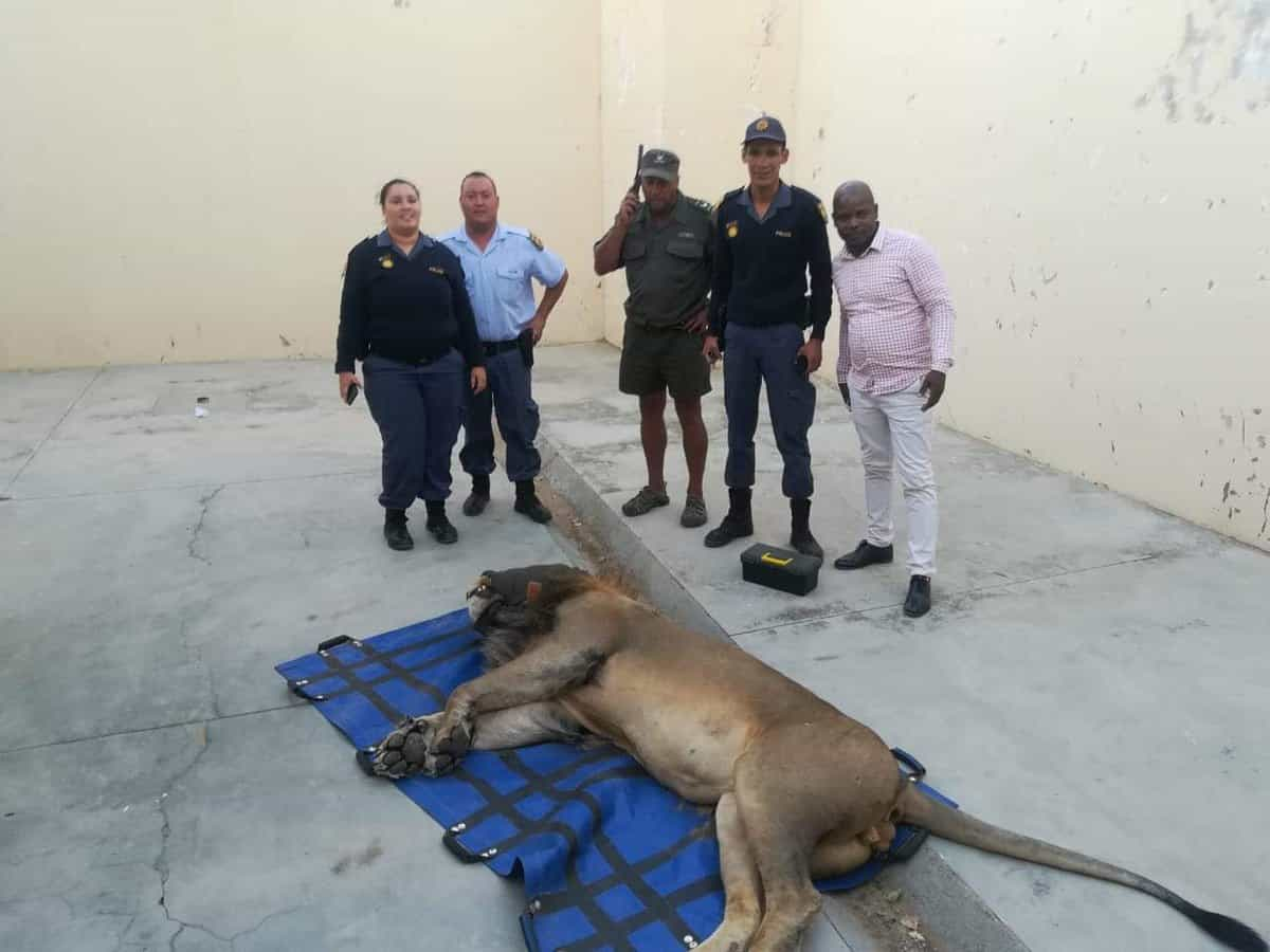 Leão fugiu de parque na África do Sul e passou uma noite na cadeia