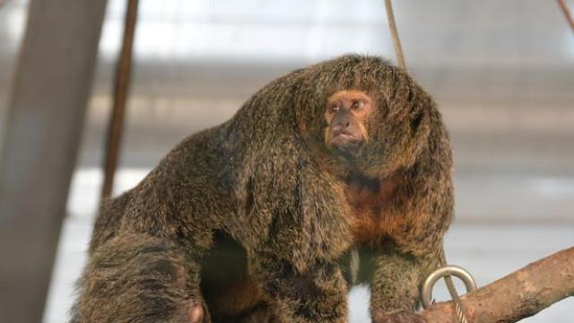 Macaco musculado faz sucesso em Zoo da Finlândia