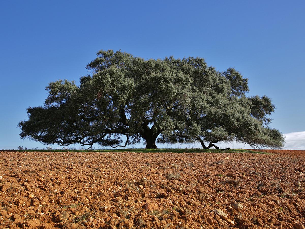 Azinheira alentejana fica em 3.º lugar no concurso Árvore Europeia do Ano