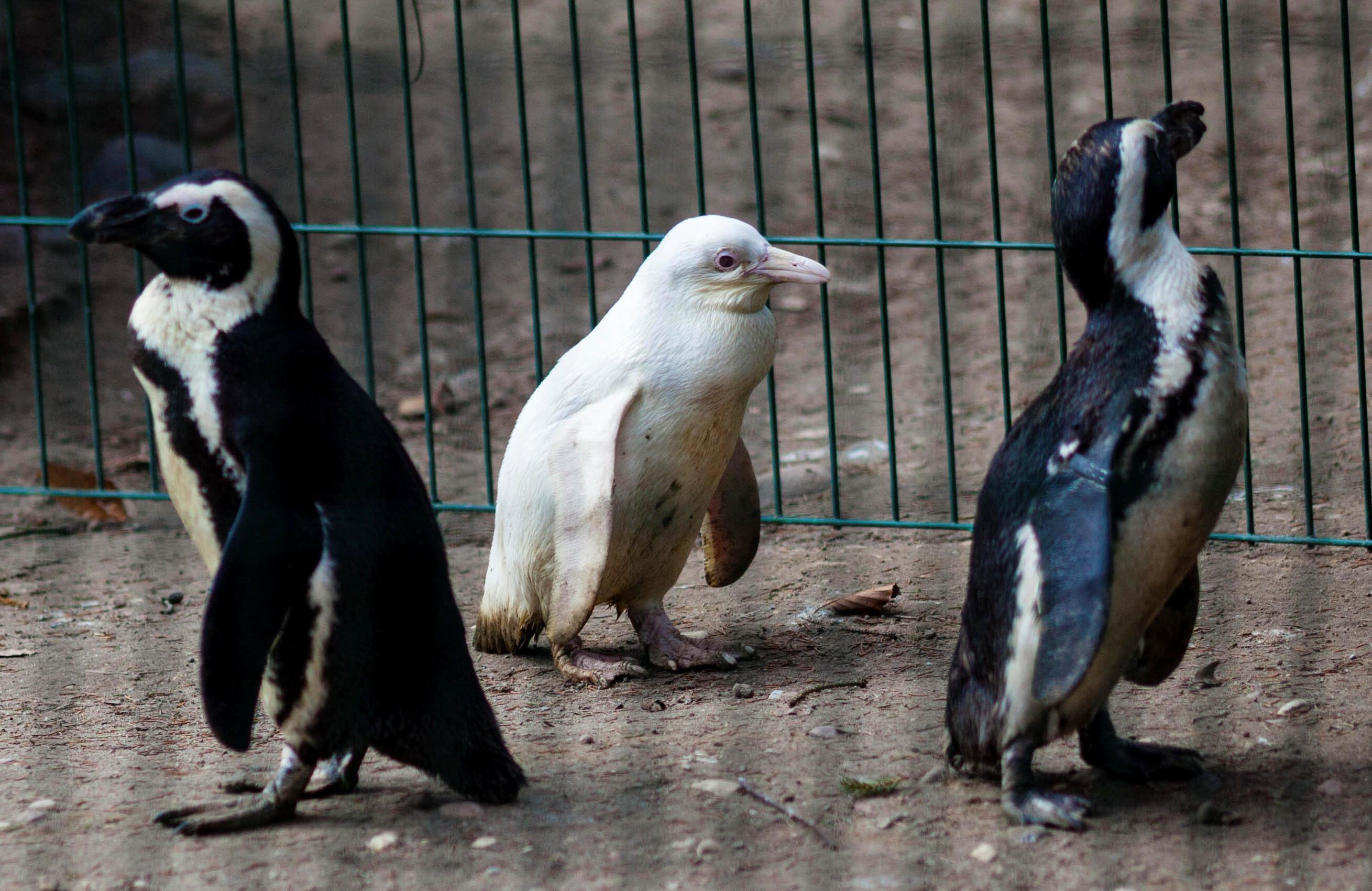 Há um pinguim albino raro no jardim zoológico na Polónia e é adorável