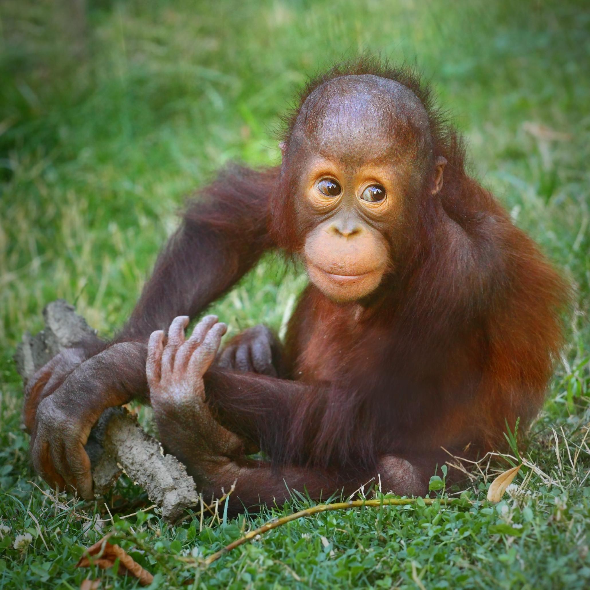 Turista russo detido em aeroporto de Bali com orangotango na mala