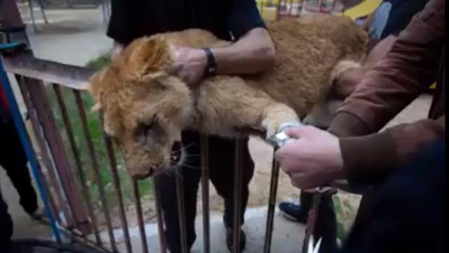 Zoo corta garras a leoa para que visitantes possam brincar com ela