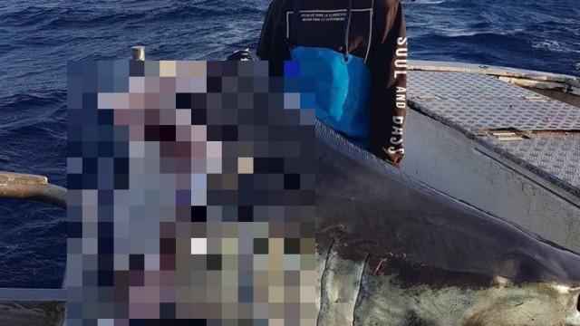 Caçaram tubarão gigante, mas animal foi comido por algo maior