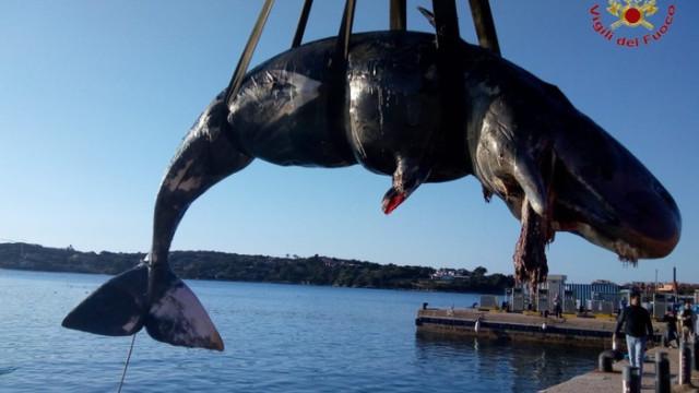 Baleia grávida deu à costa morta. Tinha 22 kg de plástico no estômago