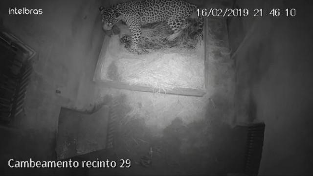Primeiro jaguar criado por inseminação artificial foi comido pela mãe