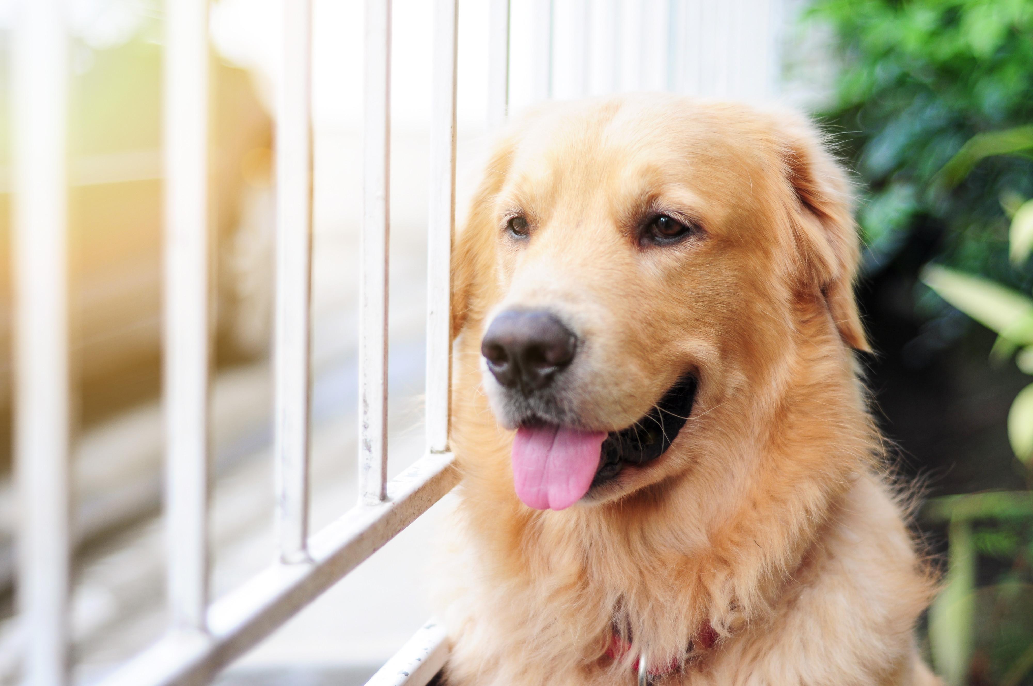 Sim, os cães conseguem perceber quando o dono está a chegar a casa