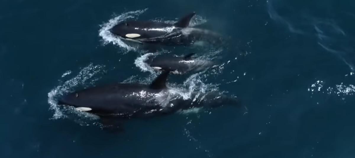 Dezenas de orcas avistadas na Califórnia pela primeira vez em oito anos
