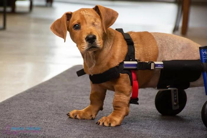 Cachorrinho abandonado que perdeu olho e duas patas encontra uma família