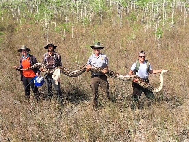 Pitão de tamanho recorde capturada nos Everglades. 'Namorado' denunciou-a
