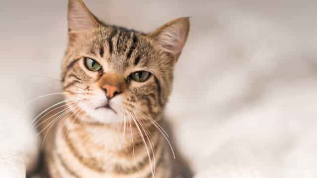 Sim, os gatos reconhecem o próprio nome... mas preferem ignorar-nos