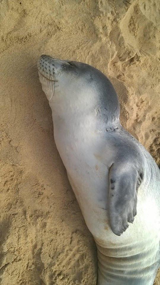 Este jovem lobo-marinho foi de 'férias' ao areal de Porto Santo