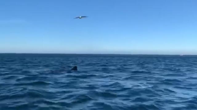 Tubarão-frade avistado em Sesimbra