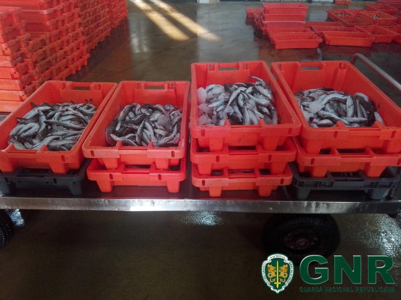 GNR apreendeu mais de 100 quilos de pescada subdimensionada em Aveiro