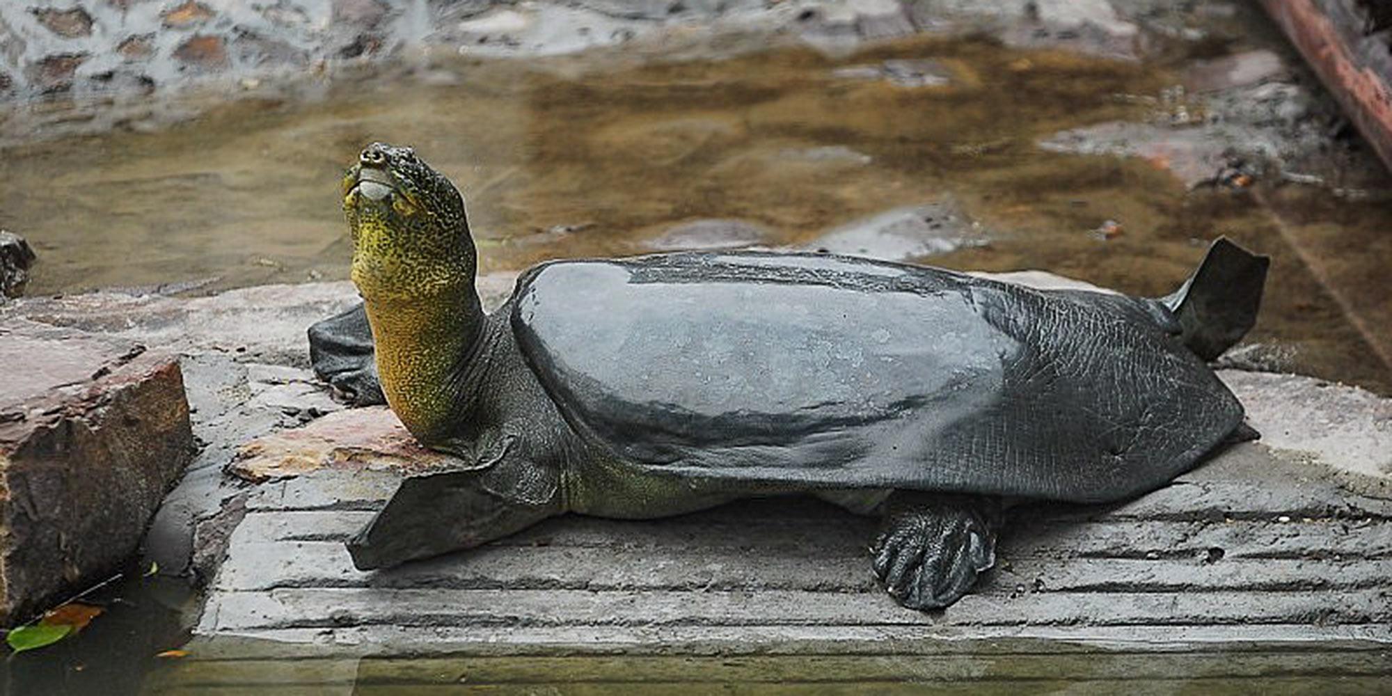 Morreu uma tartaruga rara no mundo, com 90 anos. Já só restam três