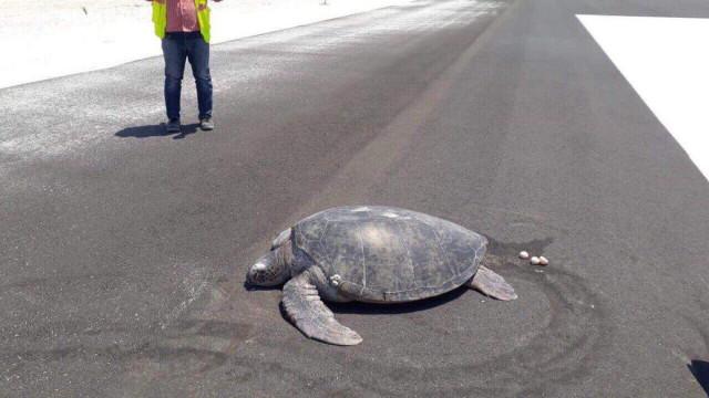 Tartaruga em perigo de extinção desovou em aeroporto. Antes era uma praia