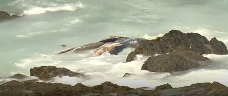 Baleia encontrada morta na praia da Burrinha, em Sines