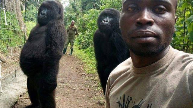 Lembra-se de selfie com gorilas? Tratador explica como foi possível