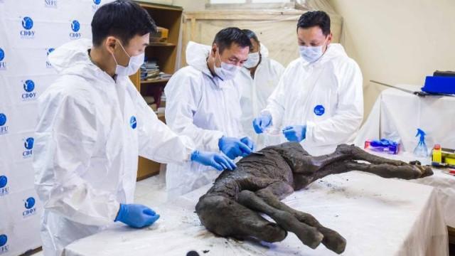 Encontrado sangue líquido e urina em carcaça de potro com 42 mil anos