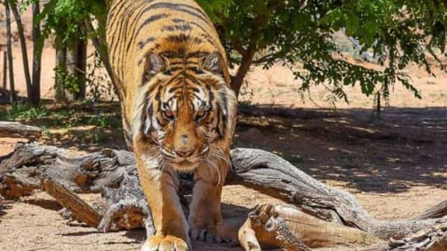 Diretor de parque atacado por tigre no Texas