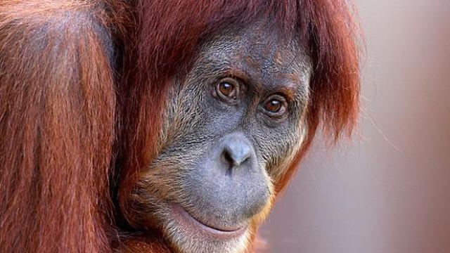 Zoo de Melbourne obrigado a fechar portas após fuga de orangotango