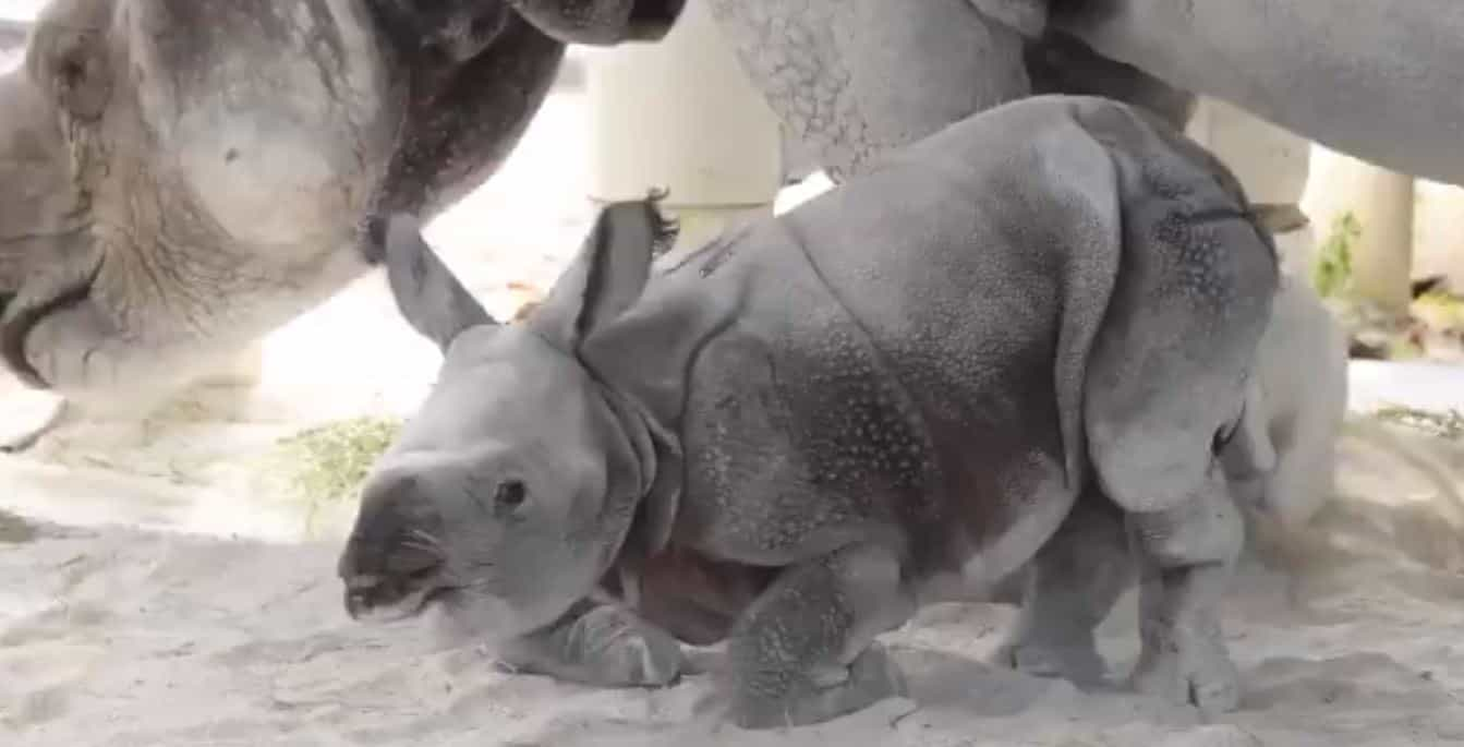Nasceu primeiro rinoceronte com recurso a inseminação artificial nos EUA